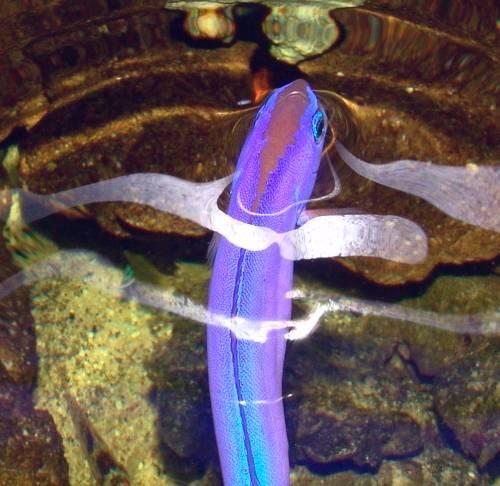 Torpedobarsche im aquarium von joachim gro kopf for Aquarium fische arten