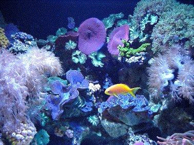 tubastreaportr t haltung und pflege von tubastrea im aquarium. Black Bedroom Furniture Sets. Home Design Ideas